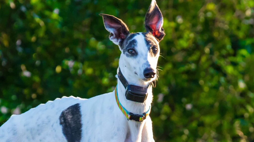 GPS трекер для собаки